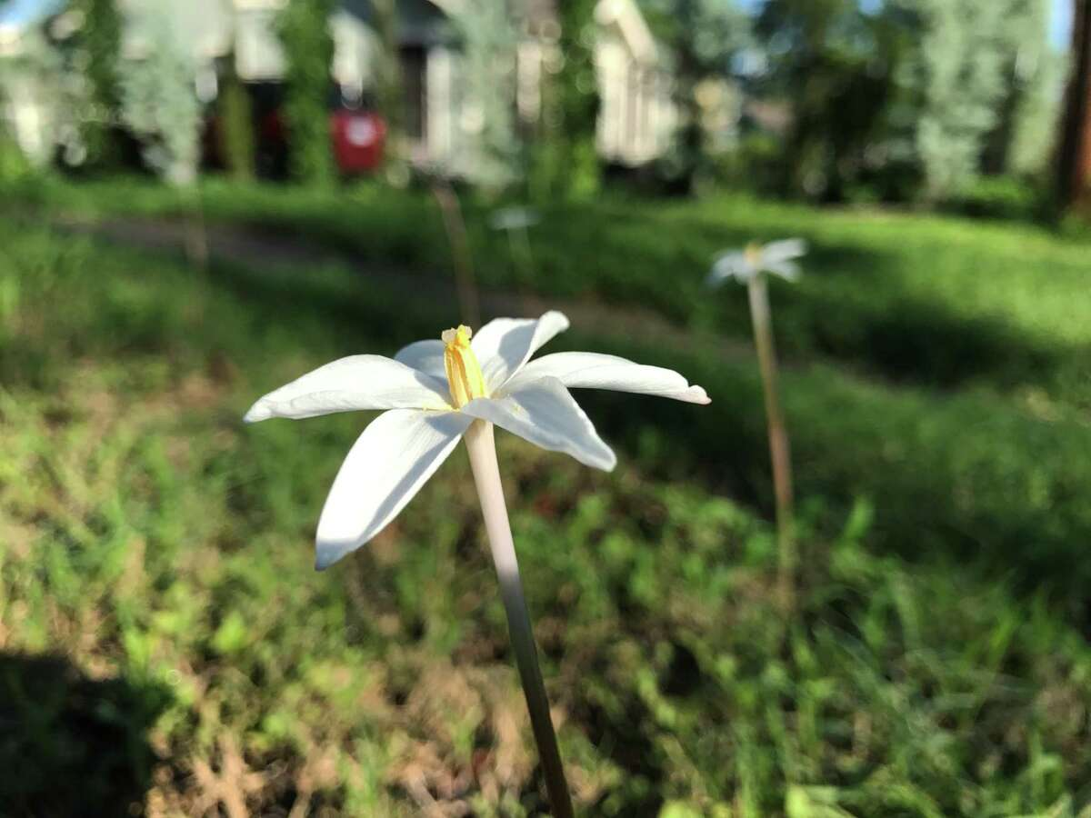 A wild rain lily