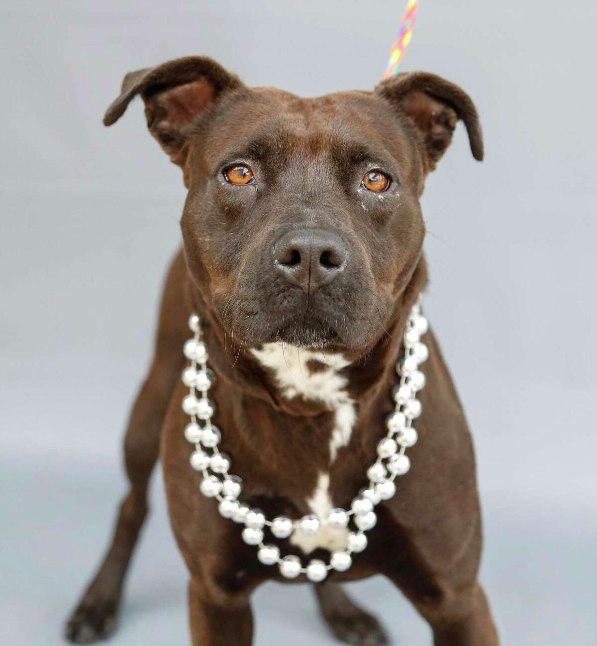 Plum (A568341) is a 1-year-old, female Labrador retriever mix available for adoption from Harris County Pets. Plum was adopted and returned because she chased the new owner's cat. Plum gets along with other dogs, men and women. Plum's adoption fees have been waived by the shelter.