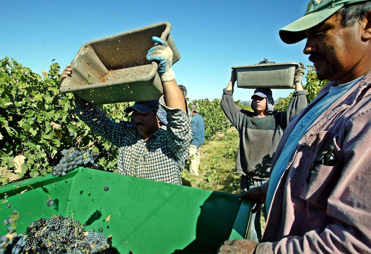 Grape pickers carry loads of Cabernet Sauvignon grapes during harvest at Clos du Bois vineyard in Geyserville in 2003.