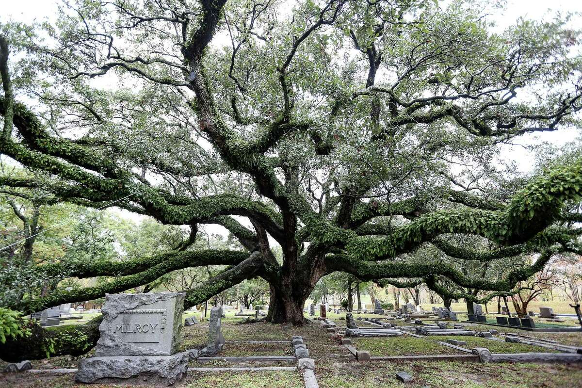 A live oak tree towers over many family plots at Glenwood Cemetery in Houston on Saturday, Dec. 19, 2020. Many oak trees are still recovering from the severe freeze which hit the greater Houston region in February.