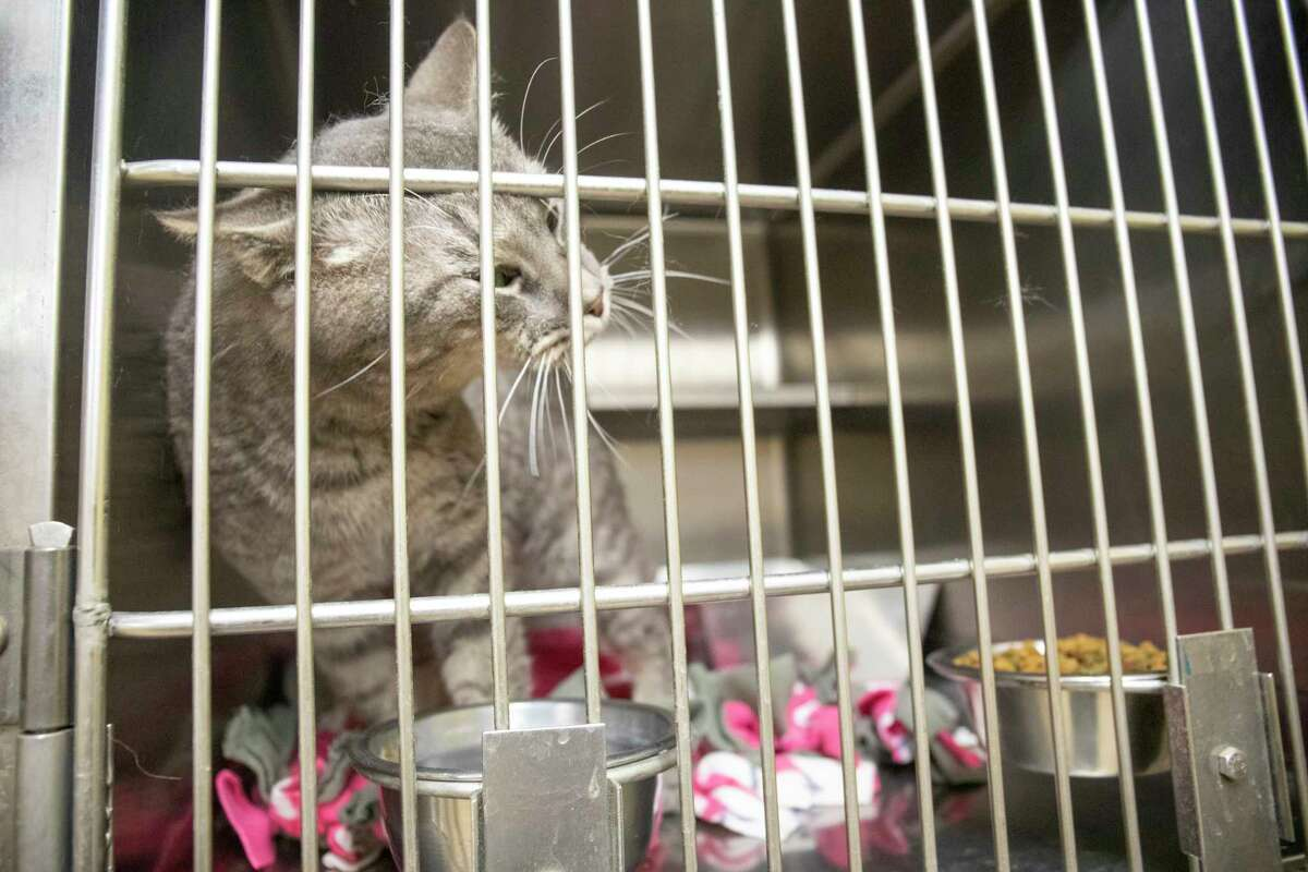 Cats up for adoption as seen May 10, 2021 at the 1200 N. Fairgrounds Road. Jacy Lewis/Reporter-Telegram