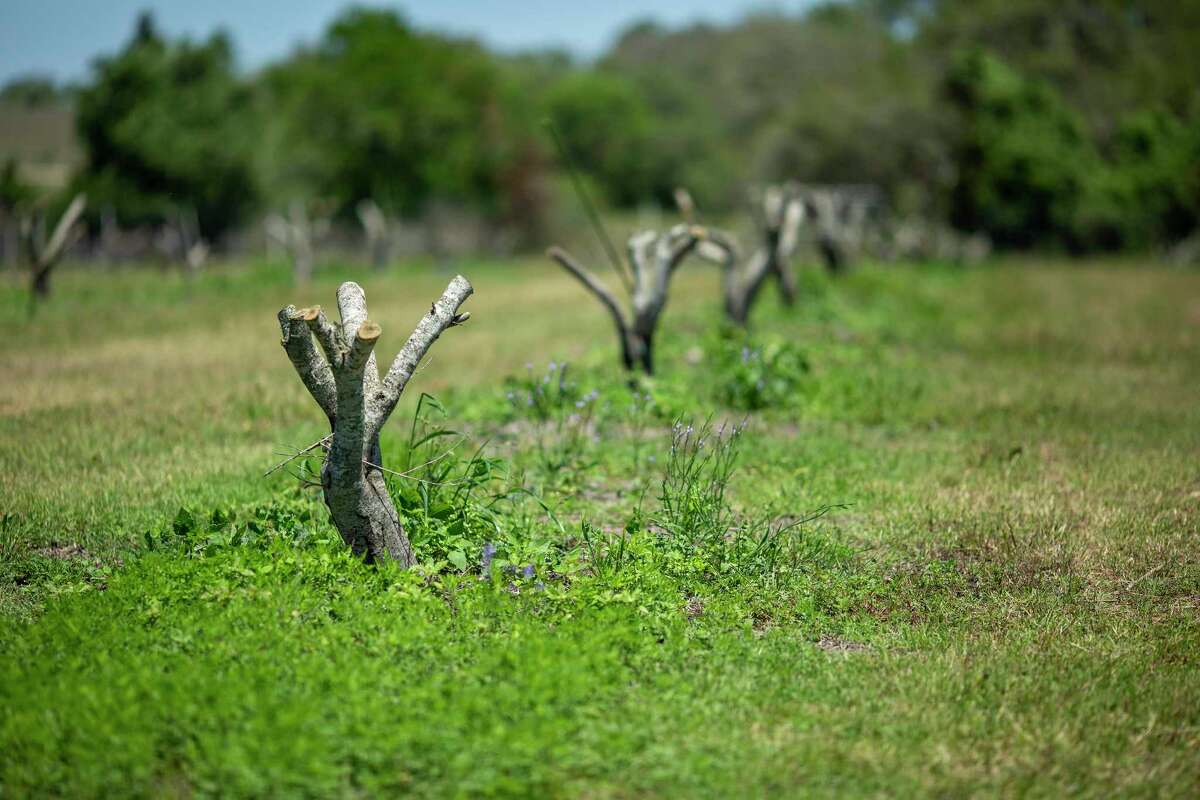 A row of olive trees has been trimmed down at Jewett Farms in Moulton.