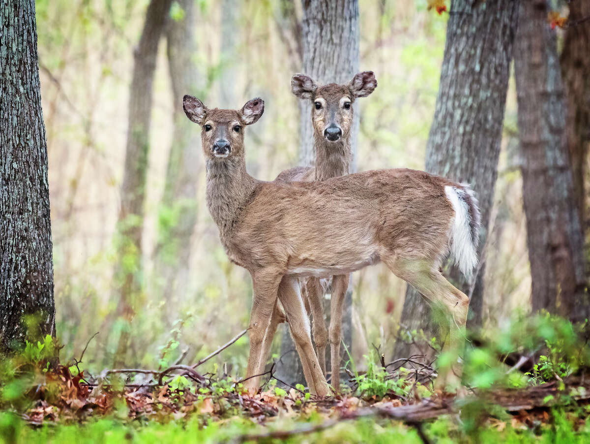 The state issued an alert about Epizootic Hemorrhagic Disease, a virus that infects and kills deer. Two white-tailed deer were found dead in the town of Esopus, Ulster County.