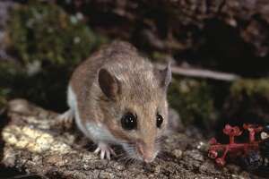 Chipmunks and shrews can infect blacklegged ticks with the bacterium that causes Lyme disease, but white-footed mice are the ticks' most common, infection-generating first meal.