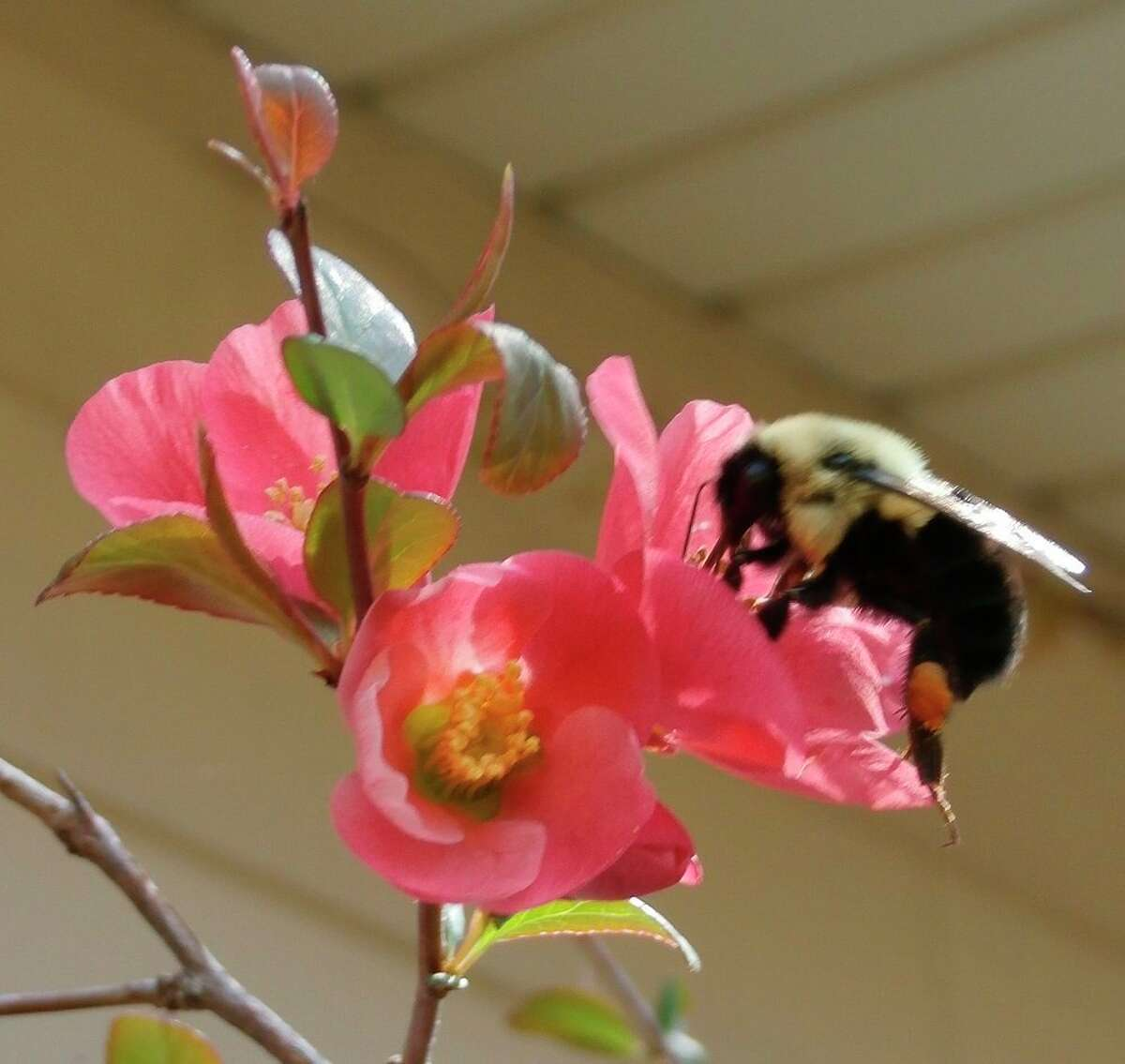 A bee lands on a Quince blossom. (Photo Provided)