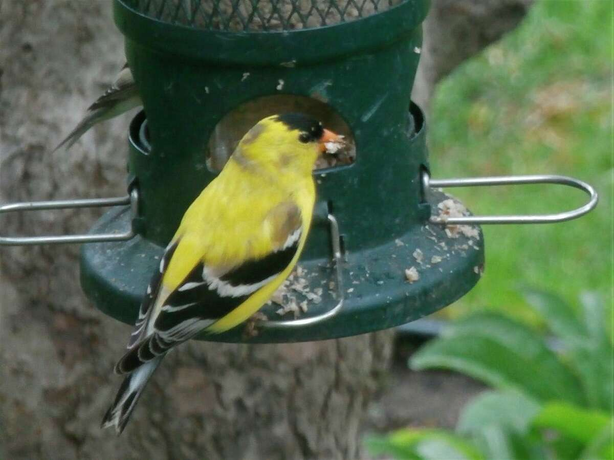 This is a goldfinch sitting on a feeder. (Photo Provided)