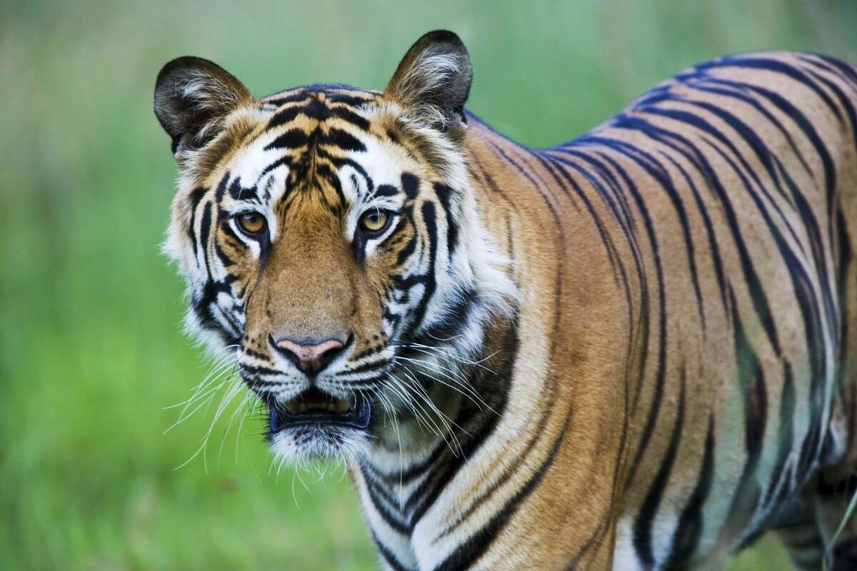 A Bengal tiger like this one was seen lounging in a west Houston neighborhood yard before being taken away in an SUV by an unknown man on Mother's Day.