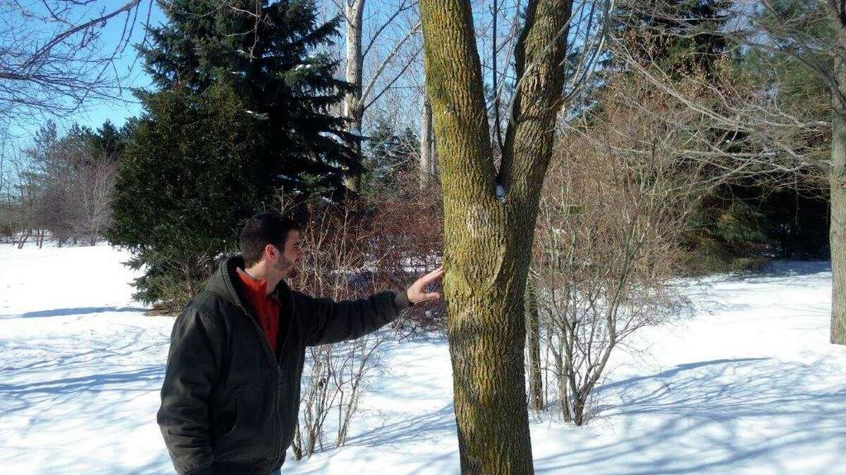 Then-Saginaw Bay District Forester Tyler Pederson checks the ash trees on TomLounsbury's property during the winter of 2015 to verify that Emerald Ash Borerswere in fact present and were killing the trees. (Tom Lounsbury/Hearst Michigan)