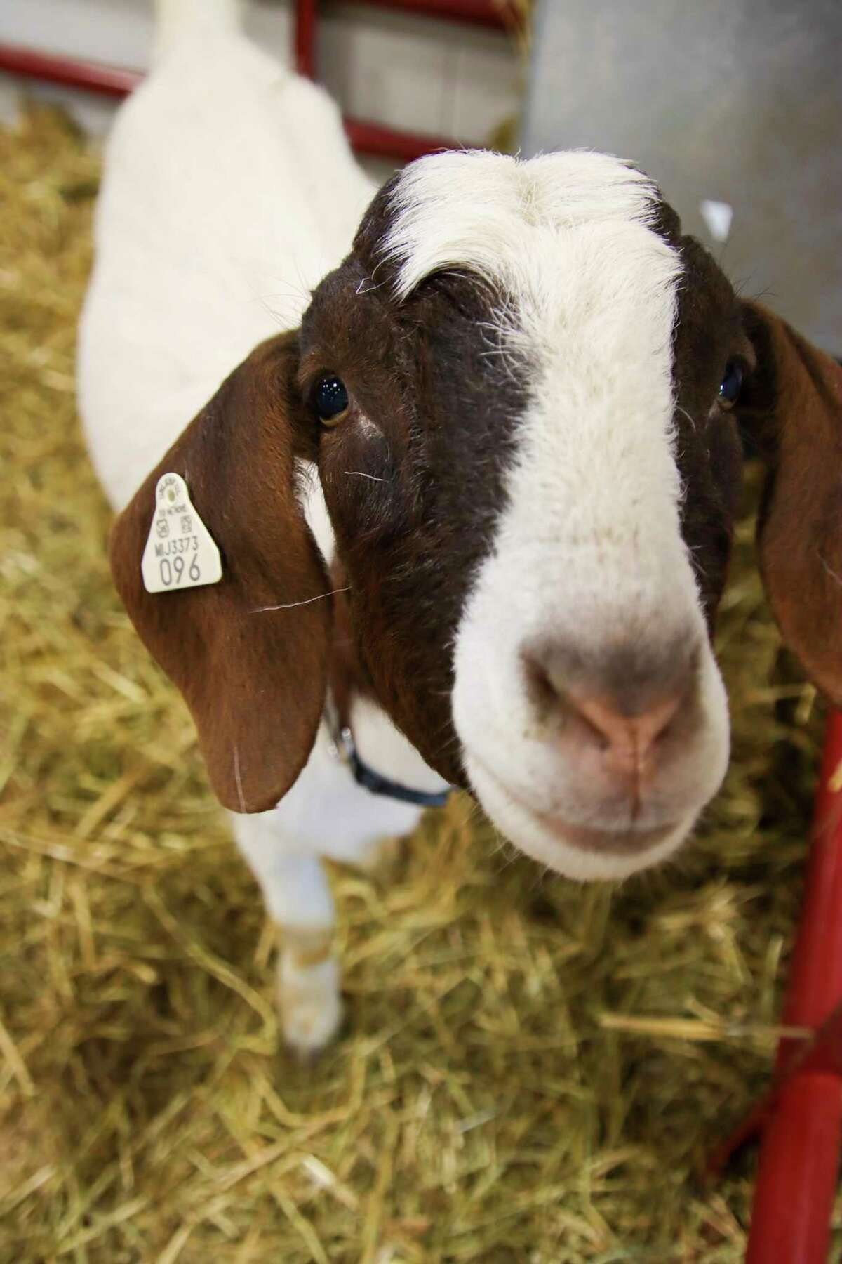 The momma goat takes interest in the camera as well. (Scott Nunn/Huron Daily Tribune)