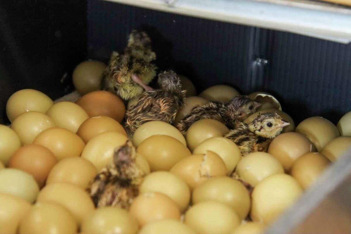 Several chicks have emerged from their shell on hatch day. (Scott Nunn/Huron Daily Tribune)