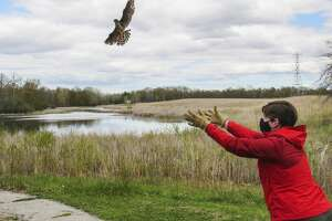 A merlin, released by Elli Cline, takes flight Saturday, May 8, 2021 at Chippewa Nature Center's wetlands. (Victoria Ritter/vritter@mdn.net)