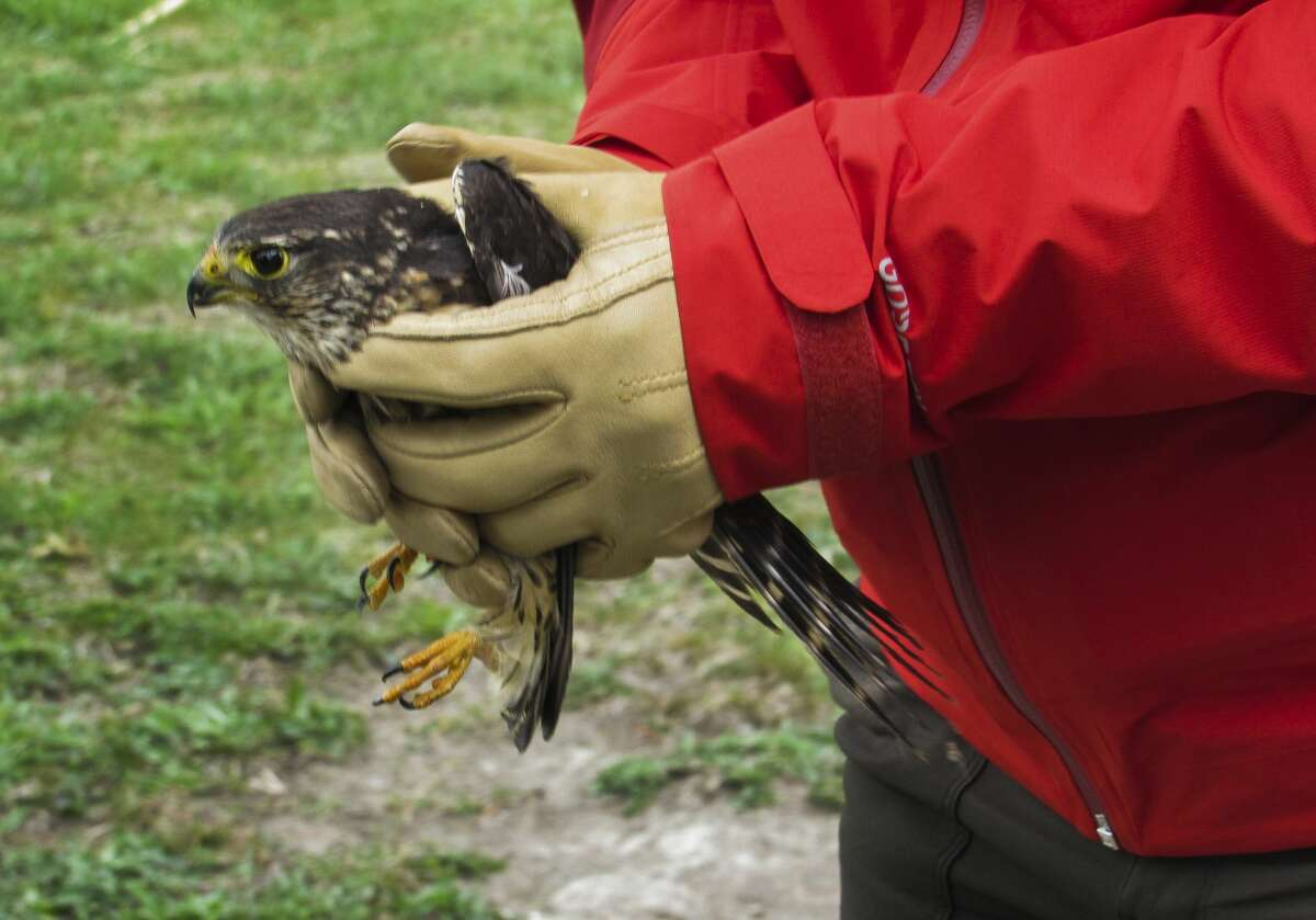 Elli Cline prepares to release a merlin Saturday, May 8, 2021 at Chippewa Nature Center's wetlands. (Victoria Ritter/vritter@mdn.net)