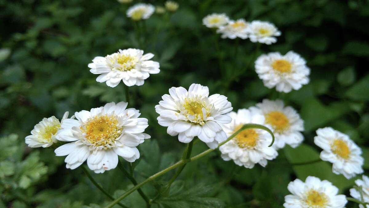 Feverfew is a lesser-used member of the daisy family with aromatic leaves.