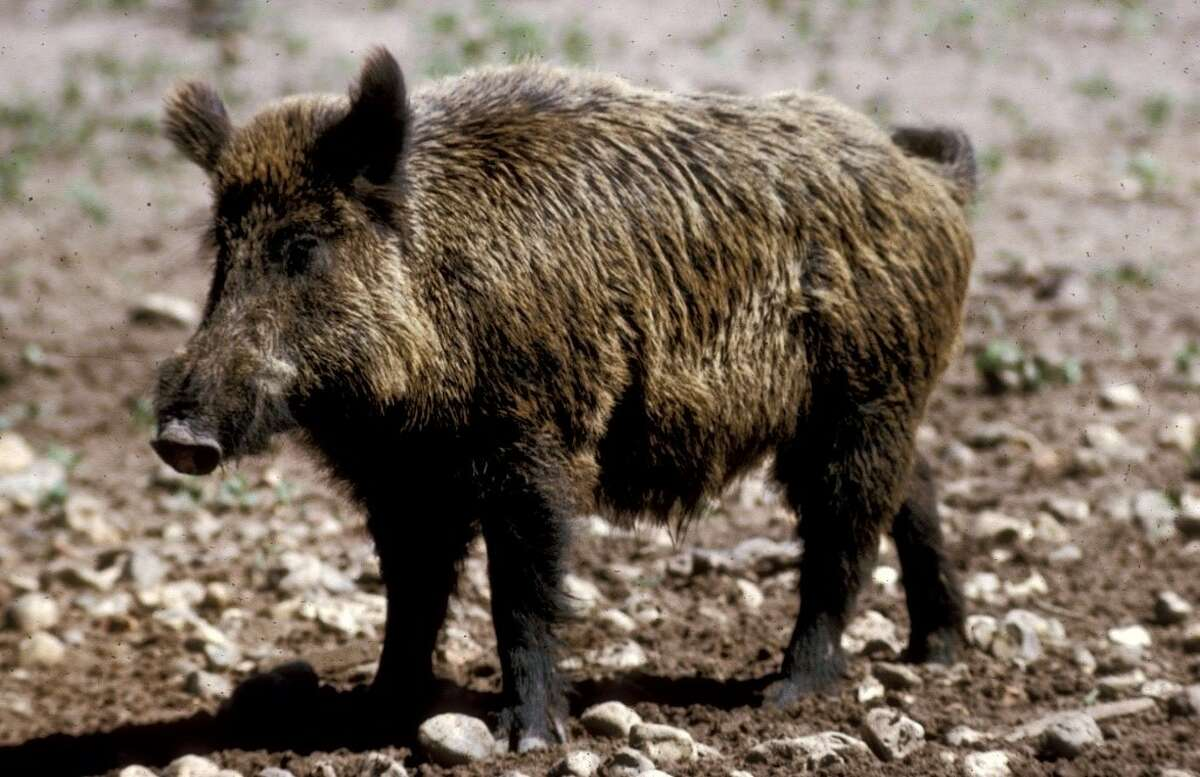 Take your shot to join this wild hog hunt.