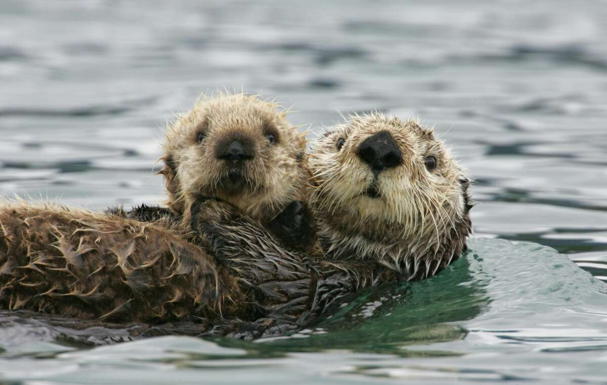 Just adorable. But sea otters have a dark side.
