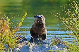 Talia Rose walks the Eel River each day and photographs wildlife. River otters are among her favorite subjects.