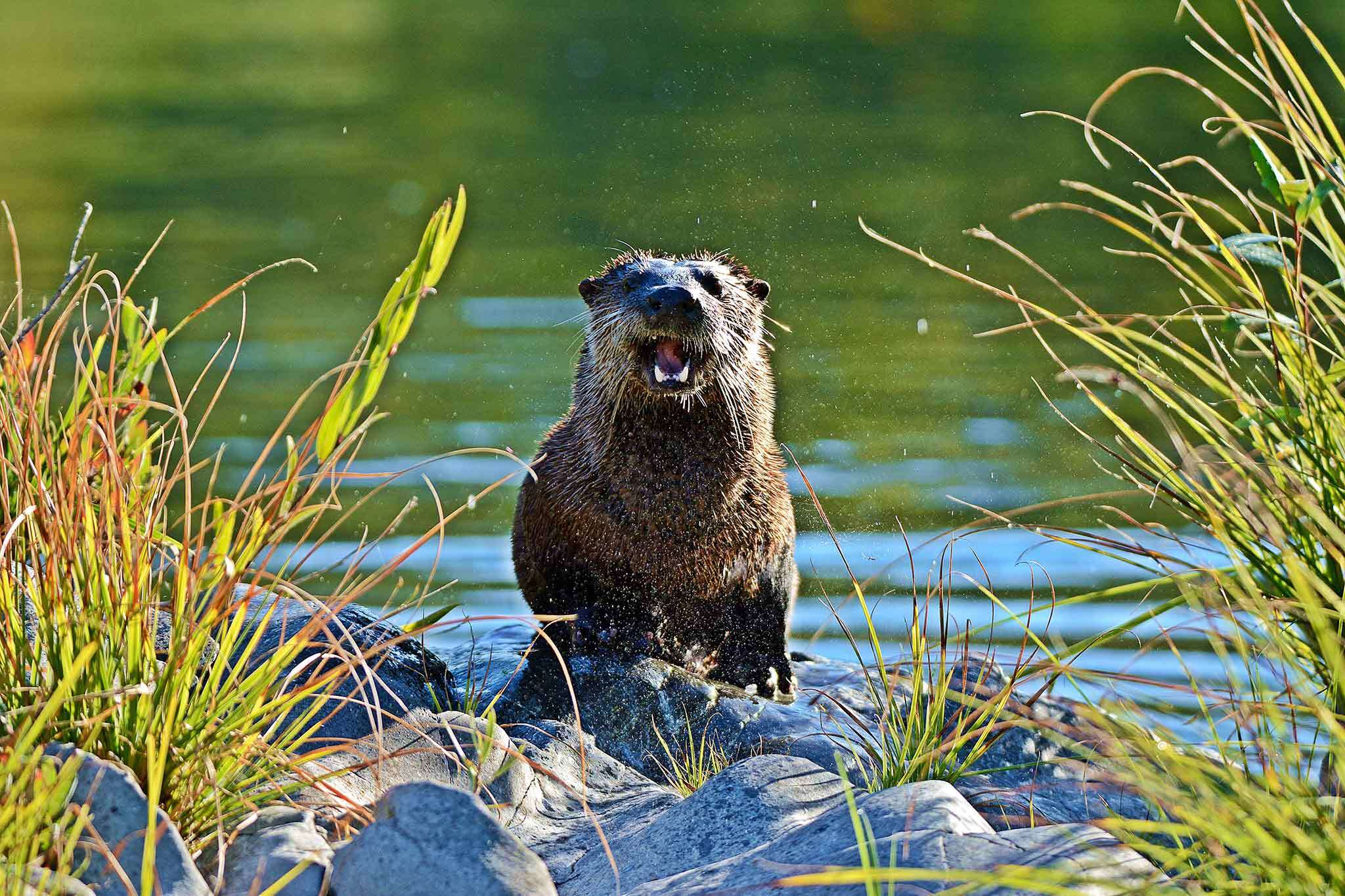 On otters: 'The cutest vicious devils you'll ever see'