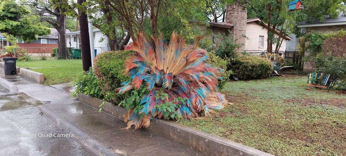 Fiesta Palm