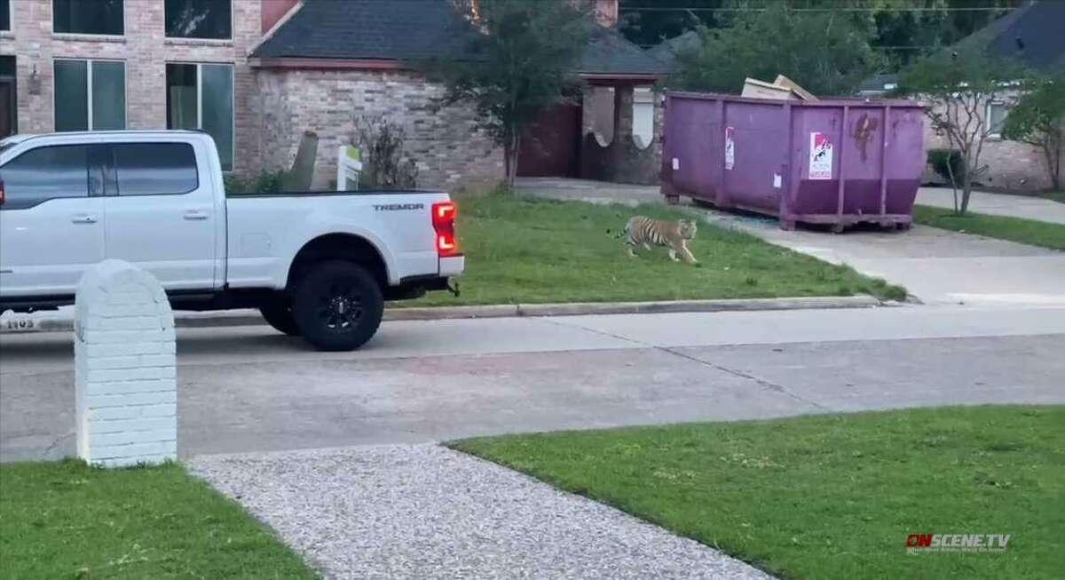 Un residente de un vecindario al oeste de Houston reportó a un tigre de Bengala en el patio frontal de una residencia el domingo 9 de mayo de 2021.