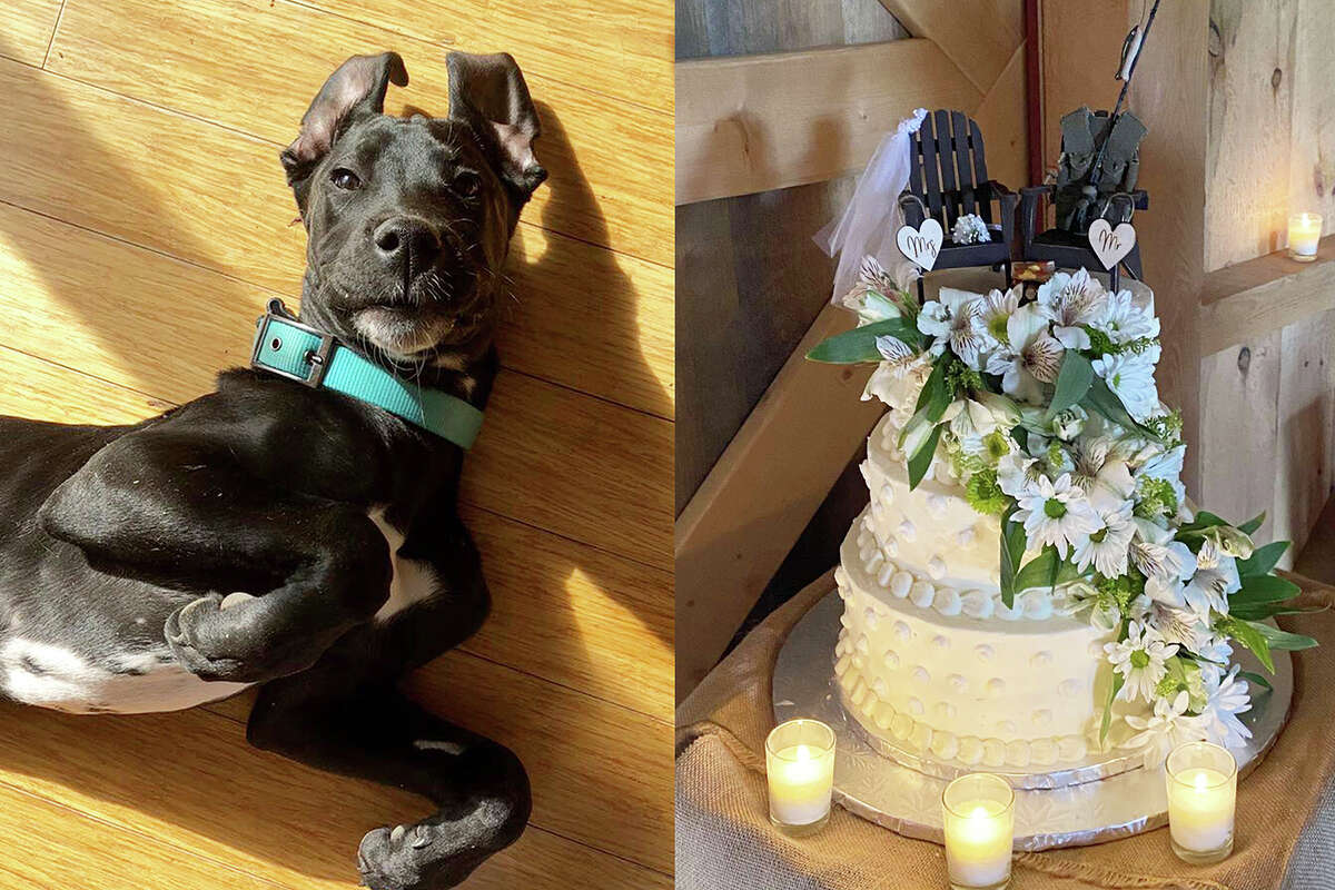 In human years, Luna the black lab-Great Dane mix is about 3 years old. And, like many preschoolers, she's drawn to dessert and doesn't understand the idea of look, but don't touch. This led to a bit of a problem at Jennie Perry and Jesse Keltz's wedding Saturday at June Farms in West Sand Lake.
