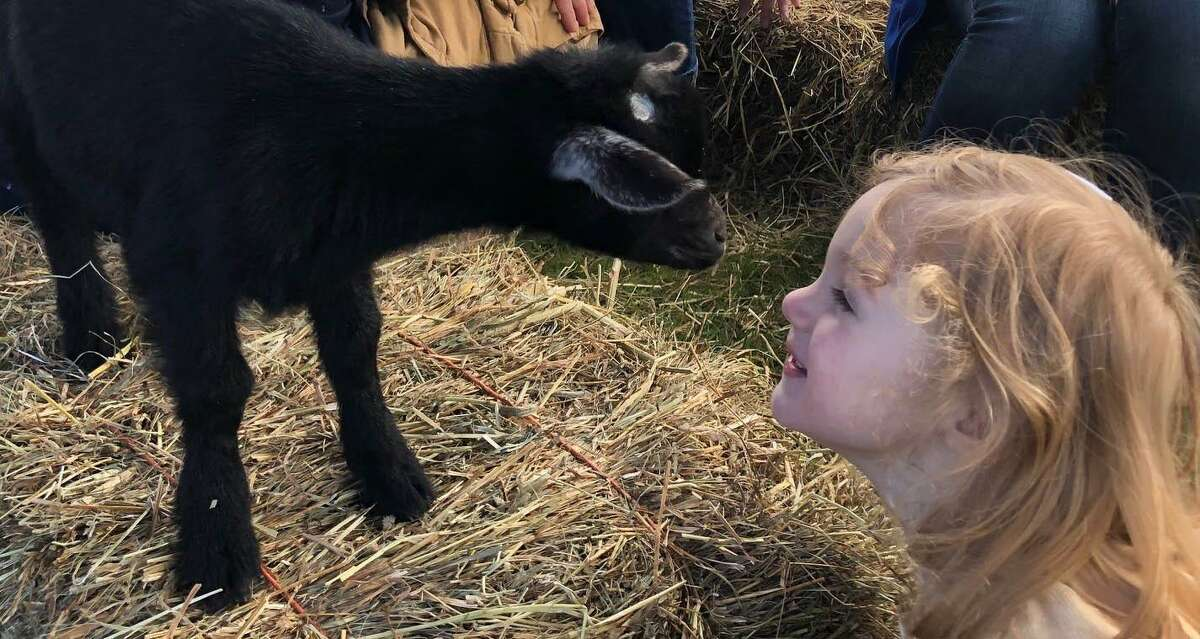 Spectrum/ Young's Field in New Milford was abuzz with activity last weekend for the first Greatest of All Towns (GOAT) Days event. Goatboy Soaps spearheaded the May 18-19, 2019 event that featured food, farm animals such as baby goats, bunnies and other animals from local farms, pony rides, crafts and more. Above, Kinsley Sterling, 2 ½, of Newtown, admires the baby goats.