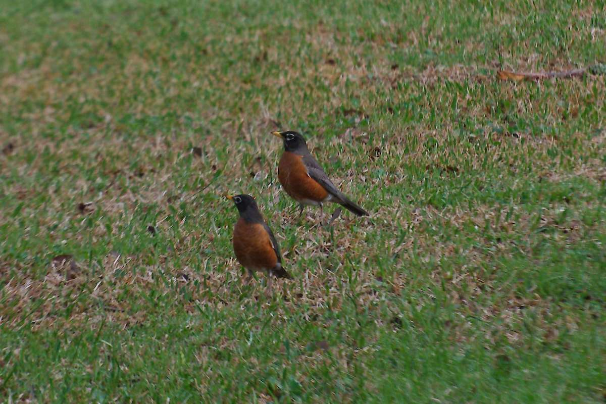 """Participants in the """"Big Sit"""" birdwatching event planned in League City may see robins and some less-common species, too."""