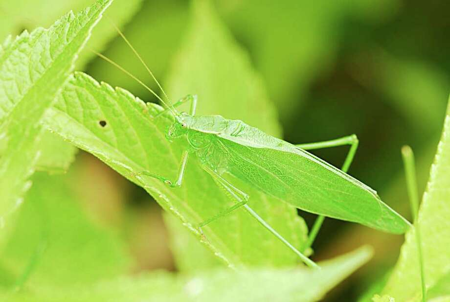 Even in a closeup photo, it can be difficult to tell where this oblong-winged katydid begins and where it ends.  Note how the veins in the wings match the veins of the leaf it's perched upon. (Bill Danielson)