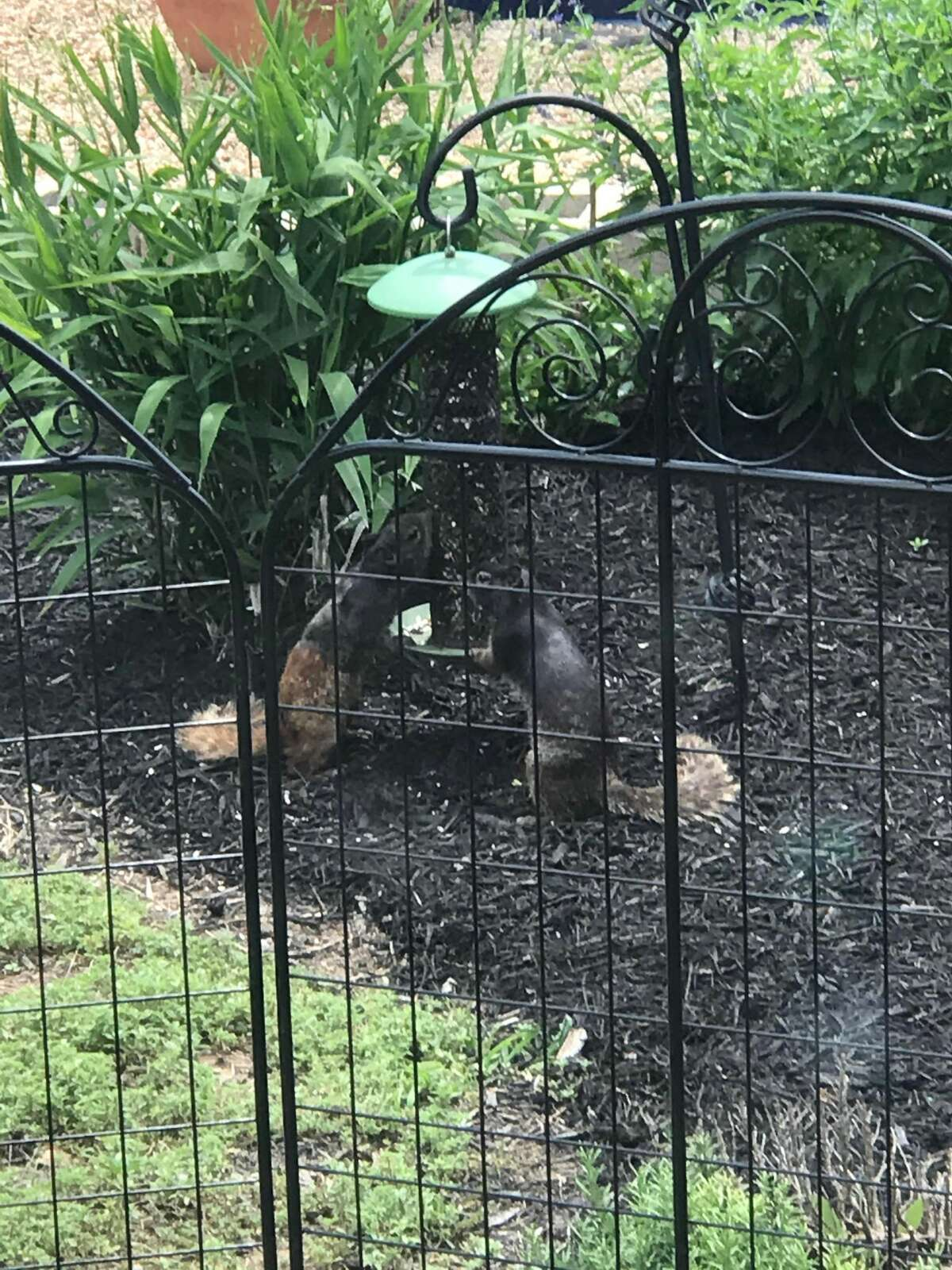 Some locals are seeing black-colored rock squirrels for the first time in San Antonio. But, it's not a rare sighting. They are native to Texas and are seen mainly in the Hill Country area.