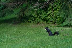 TORONTO, ONTARIO, CANADA - 2015/06/02: Black squirrel (Sciurus vulgaris) with food in mouth on the green grass. Trees in the background. (Photo by Roberto Machado Noa/LightRocket via Getty Images)