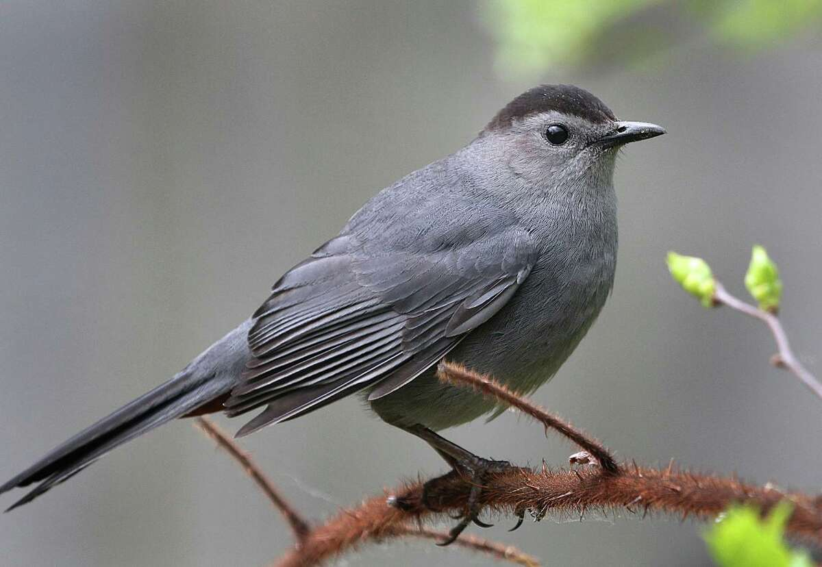 A Gray Catbird perches on a thorny branch during a summer day in New England.