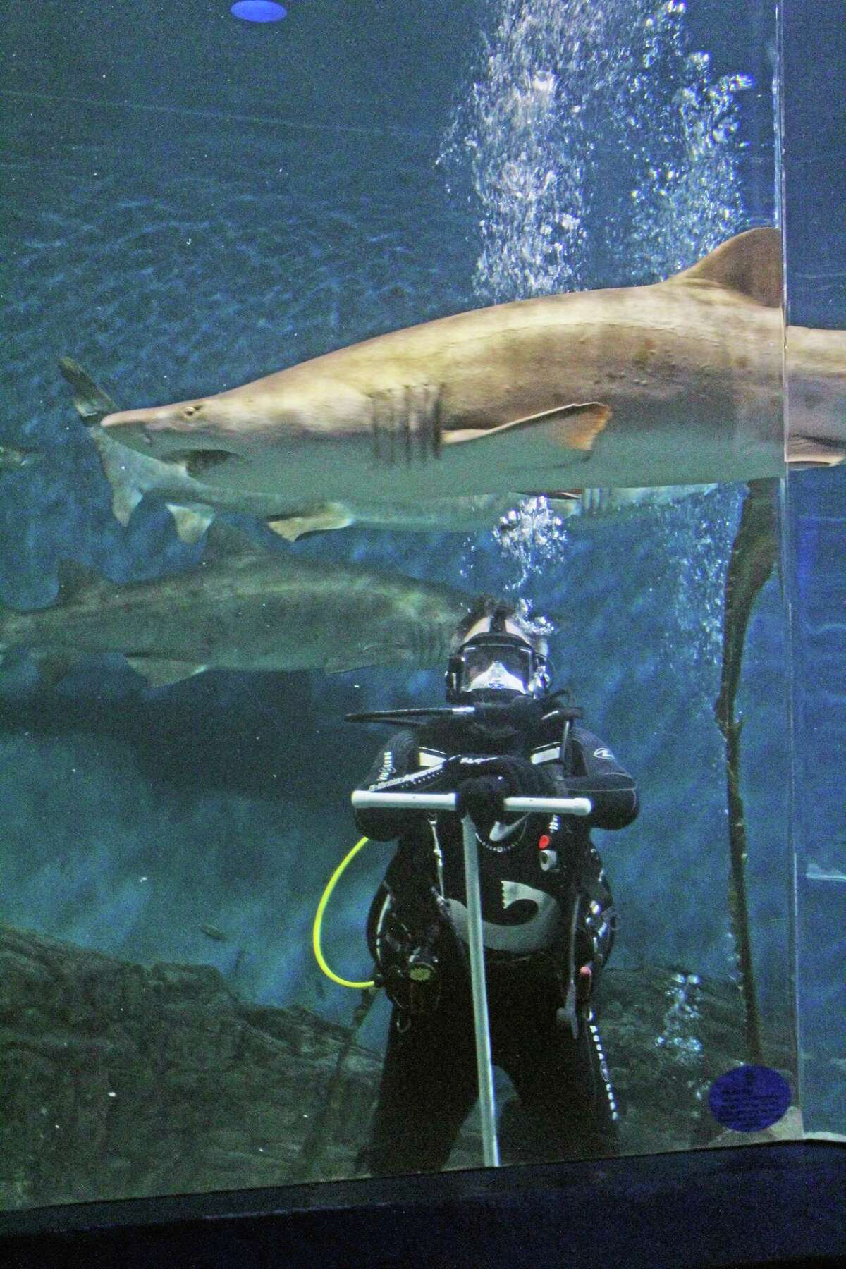 The Maritime Aquarium is seeking volunteers to jump into the facility's 110,000-gallon tank with it's seven resident sharks.
