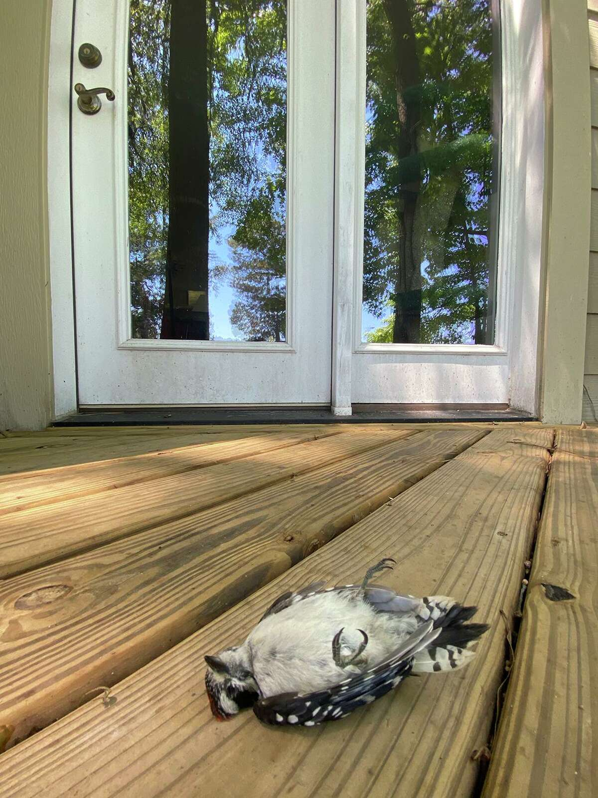 Songbirds can't tell the difference between a mirror image of the forest and the real thing. This downy woodpecker was killed when it flew into the French doors.