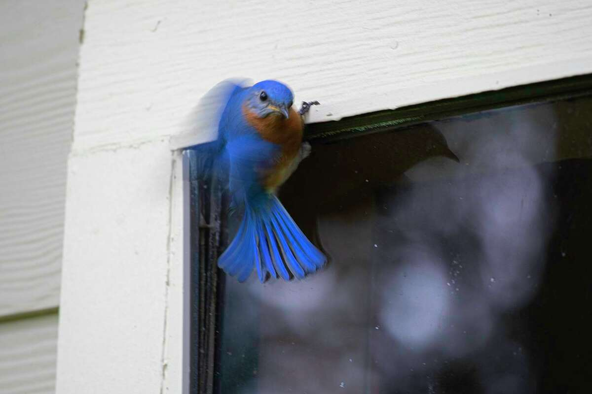 Birds can't tell the difference between a reflection and the real thing. This eastern bluebird fights with his reflection in the window.