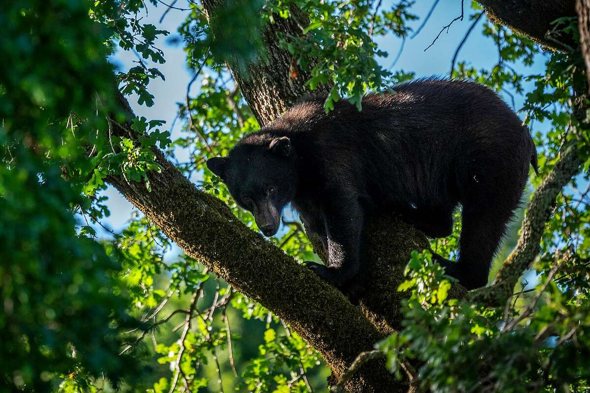 A black bear was sighted in an oak tree in a residential backyard on Tamalpais Avenue in San Anselmo, just a block from downtown San Anselmo on Thursday, May 13, 2021. After a few hours, Fish & Game was able to coax him down and he scurried off towards the wooded open space area of Mt. Tamalpais. An excited crowd had gathered to witness the bear sighting. A Central Marin police spokeswoman estimated it was a 200-300 lb male.