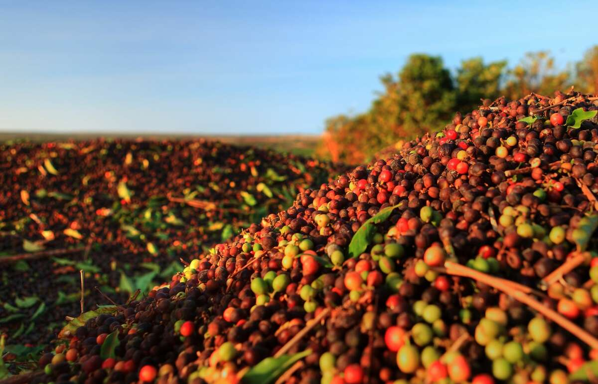 These mounds of fresh, mechanically harvested Hawaiian coffee cherries in a wagon are ready to begin the roasting process.