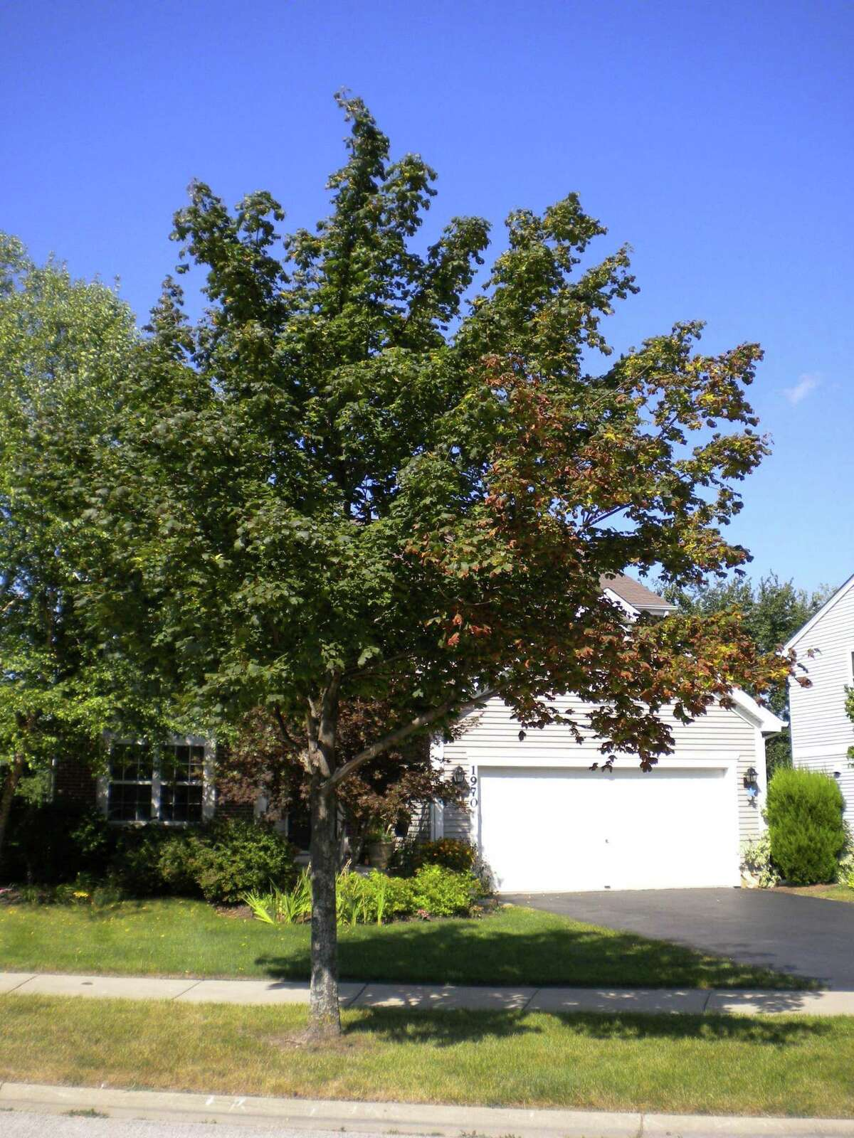 Browning maple tree from drought stress on one side.