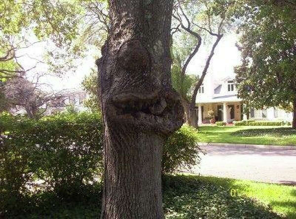 Canker is seen on a red oak tree.