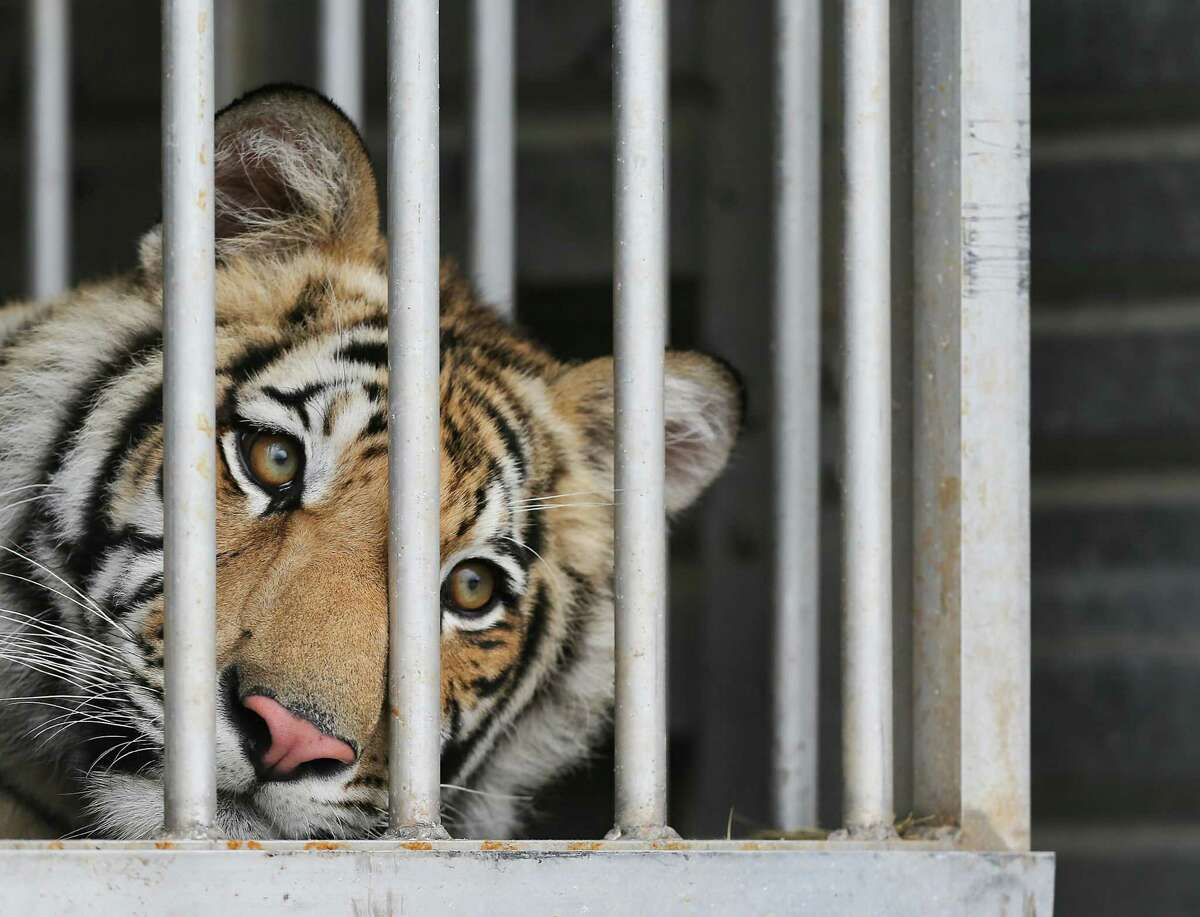 India, a 9-month-old tiger, looks out from his traveling cage prior to his Sunday trip to the Cleveland Armory Black Beauty Ranch.