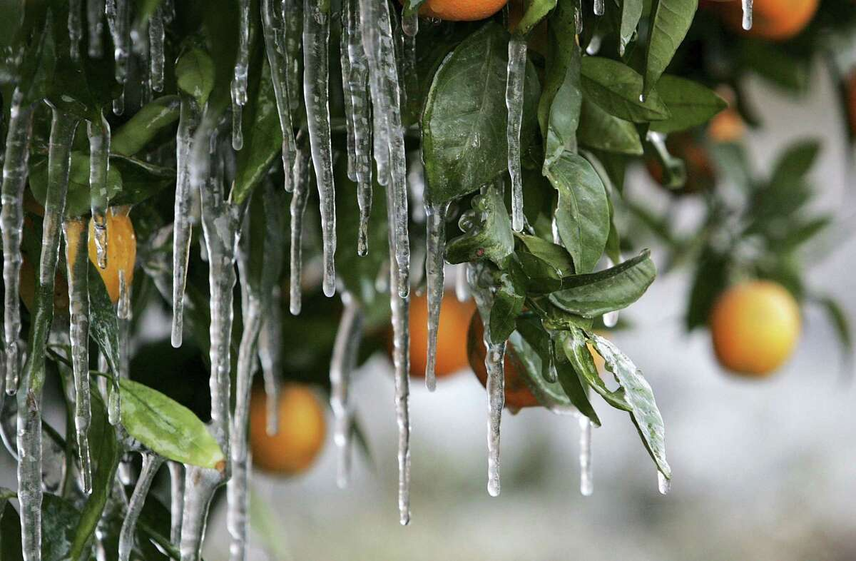 If your citrus is now sending up shoots after the freeze, temper your excitement unless you're sure the shoots are from the trunk or stems above the graft.