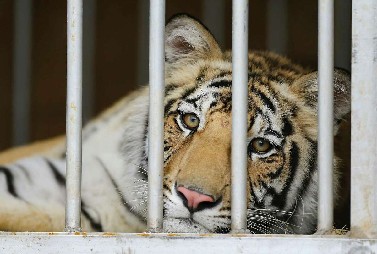 India, a 9-month-old tiger, looks out from his traveling cage at BARC in Houston as he is prepared to head to Cleveland Armory Black Beauty Ranch on Sunday, May 16, 2021. India was surrendered by its owner, about a week after it was spotted loose in a Houston neighborhood.