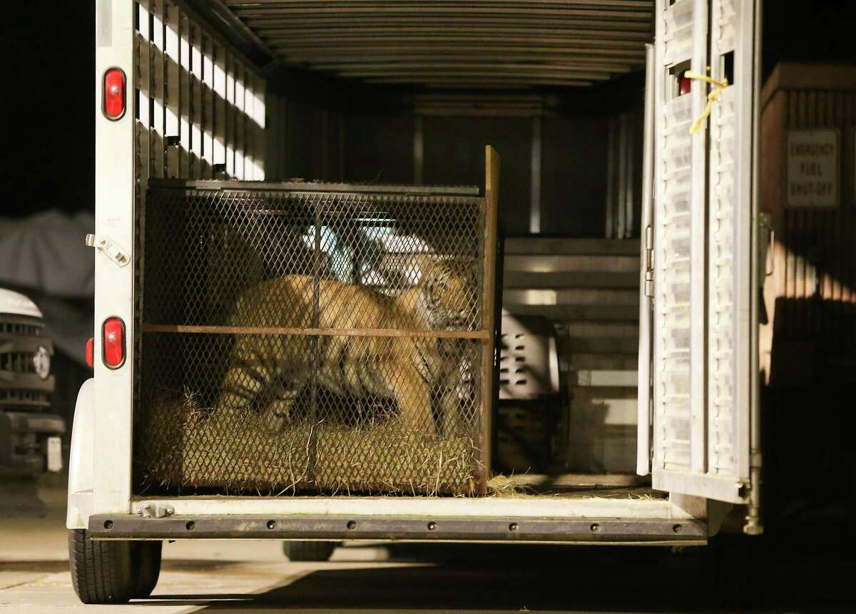 India the Tiger was surrendered by its owner to HPD and will spend the night at BARC in Houston on Saturday, May 15, 2021.