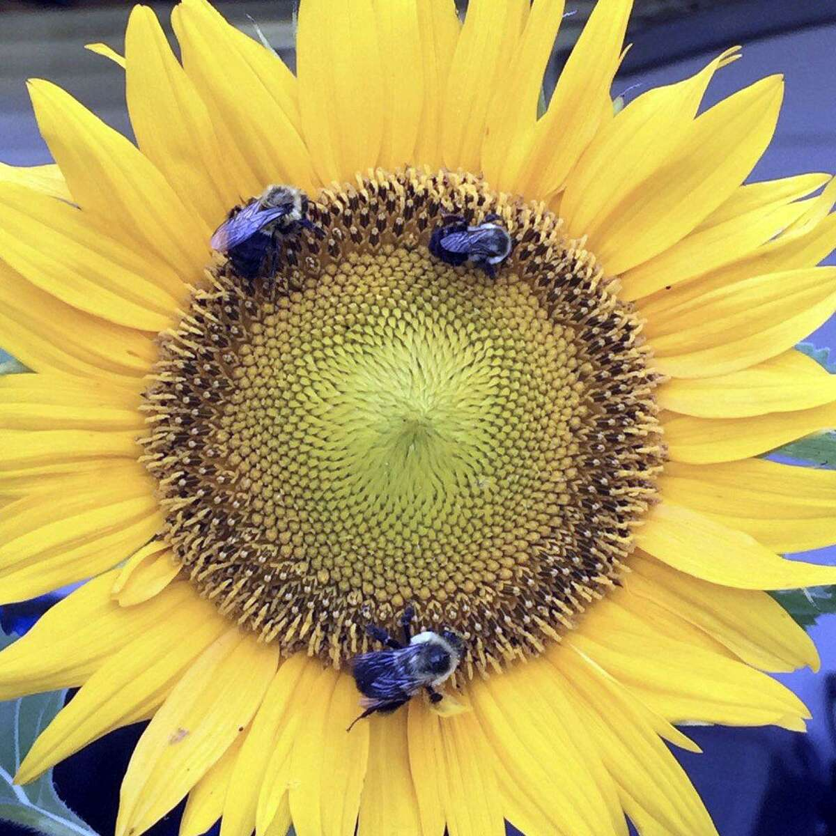 Sunflower and bees.