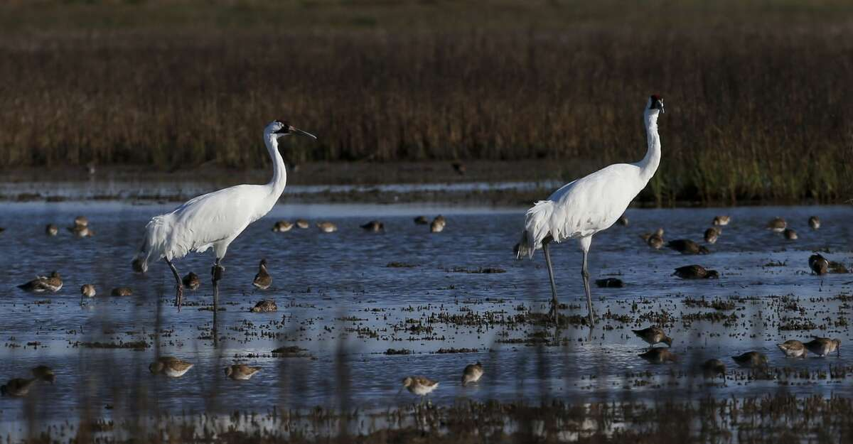 Two whooping cranes waddle through a salt marsh near the Saint Charles Bay in March 2020 in Rockport along the Texas Gulf Coast. Salt marshes are a key source of crabs, which whooping cranes eat. The whooping crane populations was decimated in the 20th century, when it numbered about 15 in the 1940s. Today people travel to Rockport and Port Aransas just to see the whooping cranes, which now number more than 500.