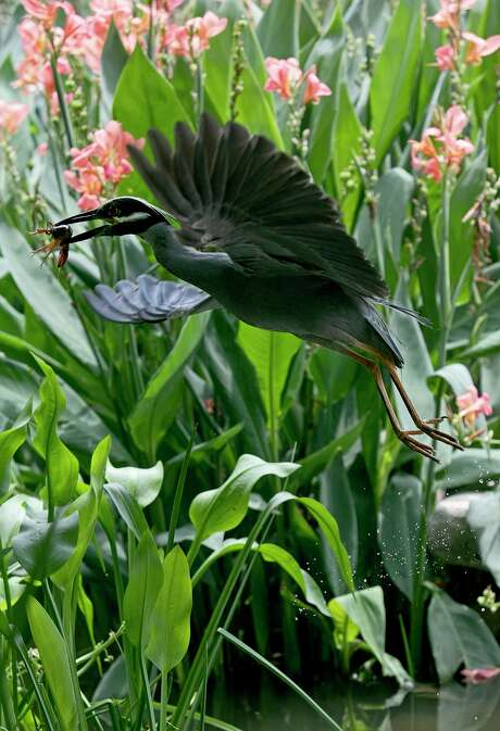 A yellow-crowned night heron flies with its catch on the River Walk in San Antonio, where plants are thriving. Photo: Lisa Krantz /Staff Photographer / San Antonio Express-News