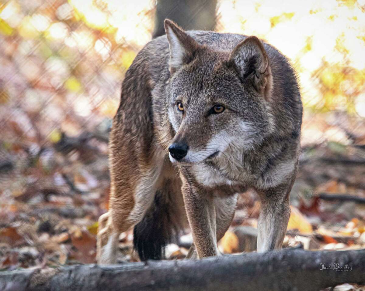 The Beardsley Zoo will host a special lecture about red wolves, like Peanut, on May 21 in recognition of Endangered Species Day on May 21.