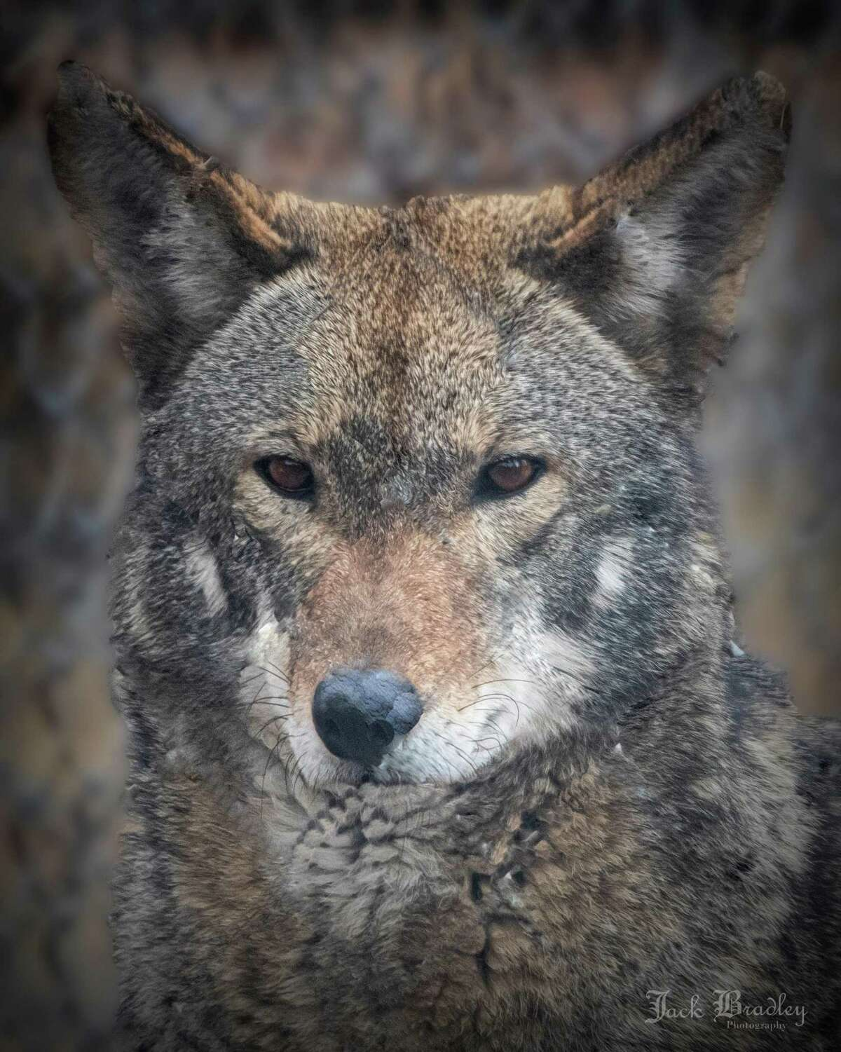 The Beardsley Zoo will host a special lecture about red wolves on May 21 in recognition of Endangered Species Day on May 21.