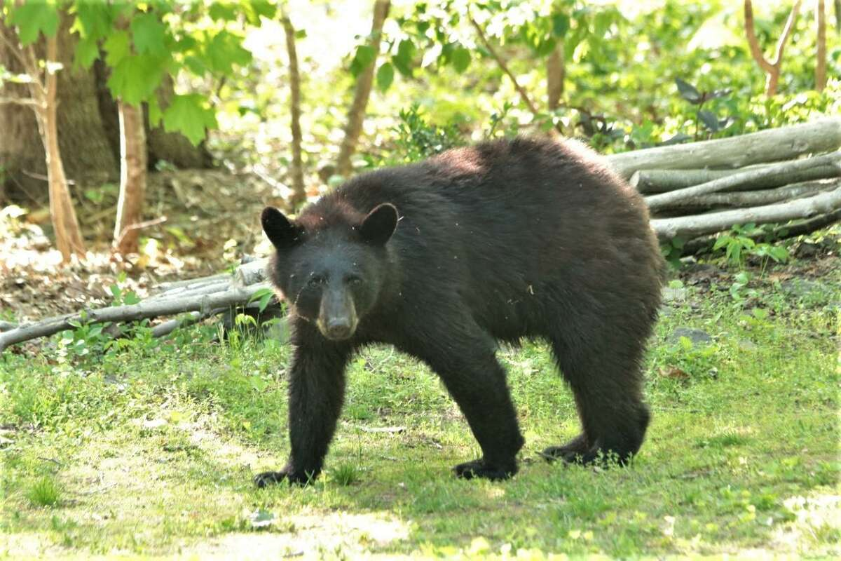 This black bear was sighted in Essex recently.