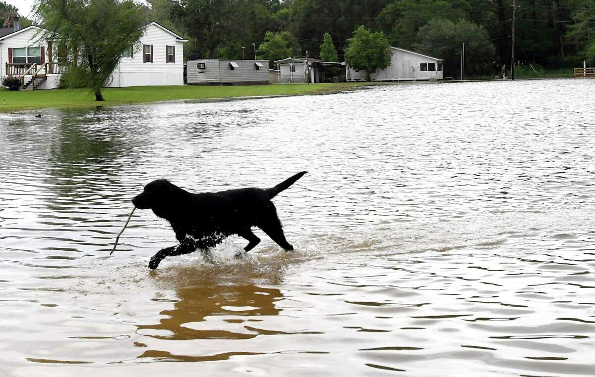 A dog plays in flood waters from a swollen Taylor's Bayou on LaBelle Road Tuesday. The area received over a foot of rainfall Monday, flooding area bayous and several yards and homes. Photo made Tuesday, May 18, 2021 Kim Brent/The Enterprise