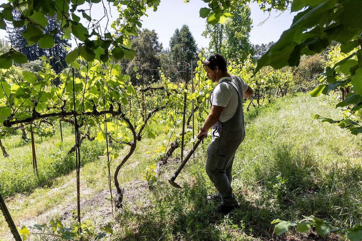 Matthew Niess will soon be working with about 60 different hybrid grape varieties planted throughout Northern California.