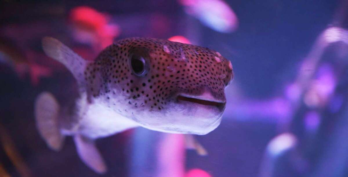 A curious pufferfish makes an appearance. Sea Life Center San Antonio in the Shops at Rivercenter mall will open Tuesday.